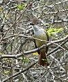 Myiarchus tyrannulus tyrannulus -Venezuela-8.jpg