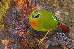 Myzornis pyrrhoura -Eaglenest Wildlife Sanctuary, Arunachal Pradesh, India -male-8.jpg