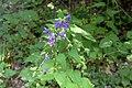 Nässelklocka. Campanula trachelium-3061 - Flickr - Ragnhild & Neil Crawford.jpg