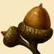 NAS-017f Quercus pumila acorn.png