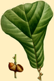 NAS-020g Quercus marilandica.png