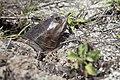 NASA Kennedy Wildlife - Florida softshell turtle - head (1).jpg