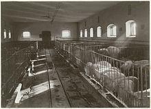 Interior Of Pig Farm At Bjarka Saby Castle Sweden 1911