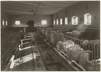 Pig farming - Interior of pig farm at Bjärka-Säby Castle, Sweden, 1911.