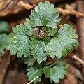 Nanocnide japonica (bud).jpg