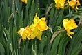 Narcissus Ceylon 0zz.jpg