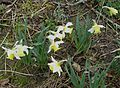 Narcissus unidentified early daffodil - Flickr - peganum.jpg