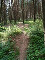 Natural bicycle track at coniferous forest near Kazimiraŭka in Viciebsk - panoramio.jpg