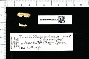 Naturalis Biodiversity Center - RMNH.MAM.28520.a lat - Chaerephon Major - skull.jpeg