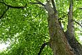 Naturdenkmal Esslingen-Bergahorn 81160191319.jpg