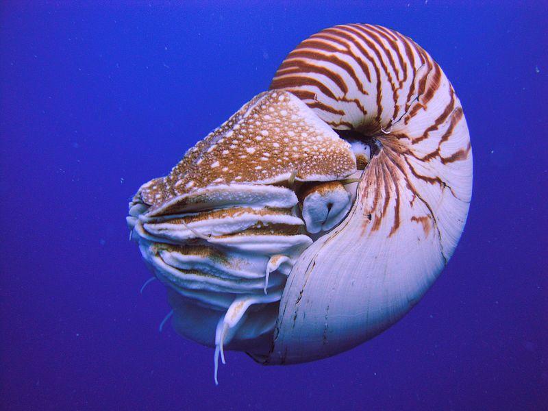 Nautilus belauensis, Palau. Photo: Manuae/Wikimedia Commons