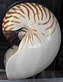 Nautilus pompilius (chambered nautilus) (offshore from Broome, Western Australia) (24052390712).jpg