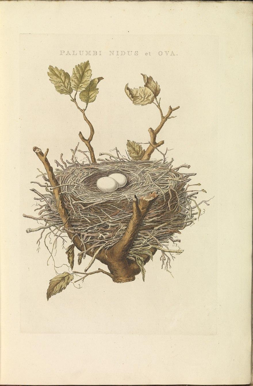 Nederlandsche vogelen (KB) - Columba palumbus (010a)