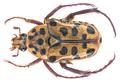 Neorrhina punctatum (Donovan, 1805) (16515747168).png