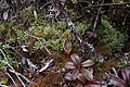 Nepenthes densiflora (8247545571).jpg