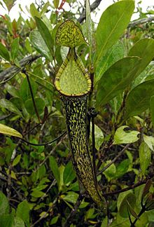 Nepenthes gracillima1.jpg