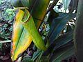 Nepenthes khasiana JNTBGRI.jpg