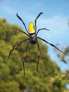 Araneomorphae Infraorder of arachnids