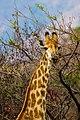 Nkomazi Game Reserve, South Africa (22639162262).jpg