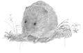 Noordse woelmuis Microtus oeconomus Jos Zwarts.tif