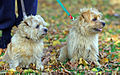 Norfolk-terrier-dogs.jpg
