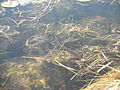 Northern-Watersnake-Swimming-1-Wikimedia.JPG