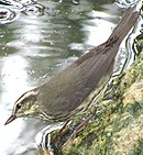 Northern Waterthrush-Yucatán.jpg