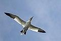 Northern gannet (Morus bassanus).jpg