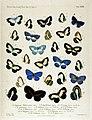 NovaraExpZoologischeTheilLepidopteraAtlasTaf33.jpg