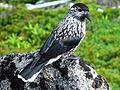 Nucifraga caryocatactes in Mount Tsubakuro 2002-07-27.jpg