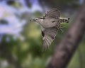 Nuthatch in flight 09-26-2012 105.jpg