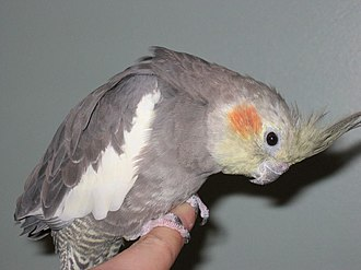 Cockatiel (aviculture) - 15-year-old hand-reared and socialized wild type (normal grey) female cockatiel