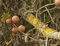Oak apples by Clay Lane - geograph.org.uk - 1173187.jpg