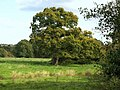 Oak tree near Stover Canal - geograph.org.uk - 993245.jpg