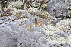 Ochotona Hyperborea yesoensis Shikaoi Hokkaido Japan2.jpg
