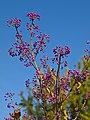"""Odessa Botanic Garden Callacarpa Bodiniery """"PROFUSION"""".jpg"""