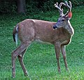 Odocoileus virginianus (white-tailed deer - buck in velvet) (17 July 2018) (Newark, Ohio, USA) 3 (29623674898).jpg