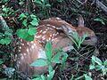 Odocoileus virginianus Finland 2002.jpg