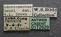 Odontomachus bauri casent0172629 label 1.jpg