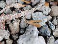 Oecetis lacustris.jpg