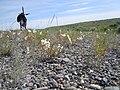 Oenothera pallida (5144297920).jpg