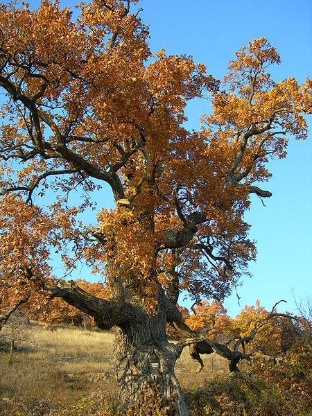 450px-Old-oak.jpg