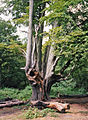 Old Beech Tree, Epping Forest - geograph.org.uk - 892706.jpg