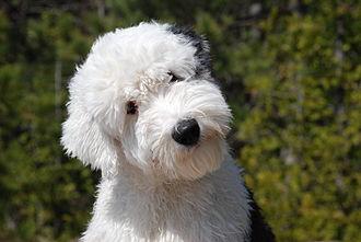 Old English Sheepdog - An Old English Sheepdog in a shorter coat clip.