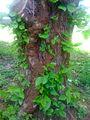 Old Poison Ivy Vine.JPG