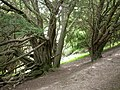 Old Yews - geograph.org.uk - 188213.jpg