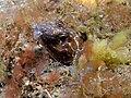 Ophichthus bonaparti (Clown snake eel).jpg