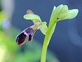 Ophrys dyris algarvensis 047.JPG