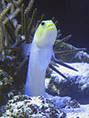 Opistognathus aurifrons