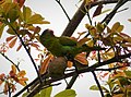 Orange-chinned Parakeet. Brotogeris jugularis - Flickr - gailhampshire (2).jpg